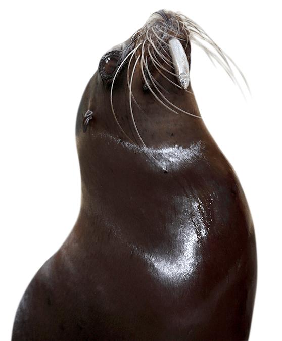 Robbe mit Fisch im Maul